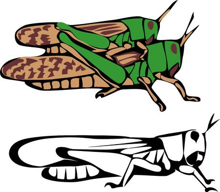 migratory: migratory locust Illustration