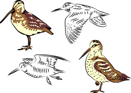 wading: Woodcock vector illustration