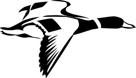 Flying wigeon isolated on white Ilustração