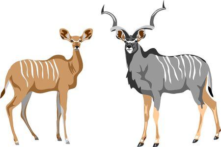 Greater kudu Illustration