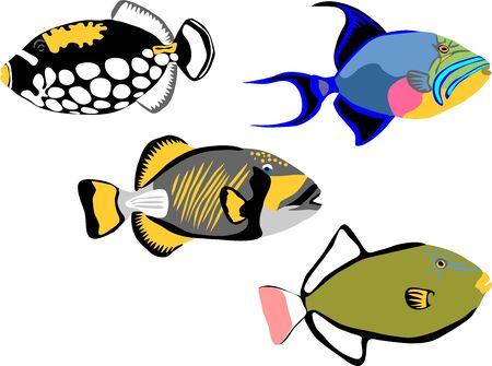 Clown triggerfish, queen titan pinktail triggerfish