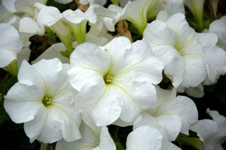 White Calystegia flowers in the home garden
