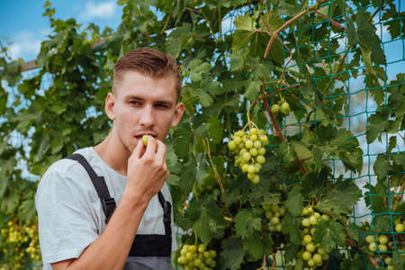 Smiling happy owner young Caucasian man working and gardening his farm, vineyards in autumn. Young man is checking the growing grapes before harvesting