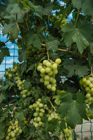 Bunch of ripe juicy grapes on a branch in bright sunlight.Vine and bunch of grapes in garden.grapes with green leaves on the vine. fresh fruits Фото со стока