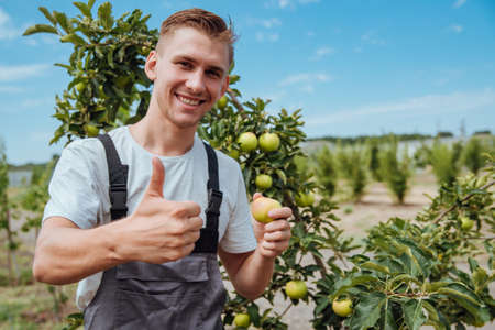 A male farmer picks apples in the garden. Happy farmer picks ripe apples from the tree Фото со стока