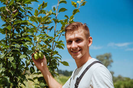 A male farmer picks pears in the garden. Happy farmer picks ripe pears from the tree