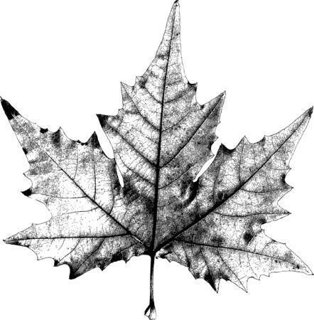 adobe: Dry Maple Leaf - is Adobe Illustrator 10 compatible EPS file, defined in CMYK color mode.