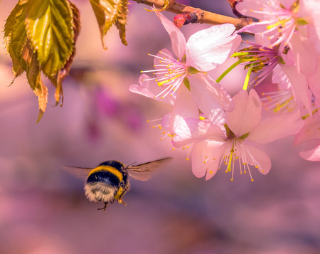 oscillation: Bumblebee flying to pink sakura flower under sun light