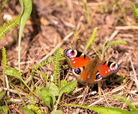 landed: Red summer butterfly landed on ground