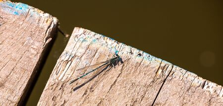 bred: Small blue dragonfly with transparent wings on wooden bred near river