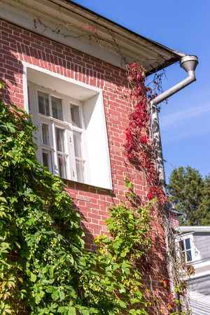hop plant: Red brick wall with window, culvert and crawling hop plant in sunny day
