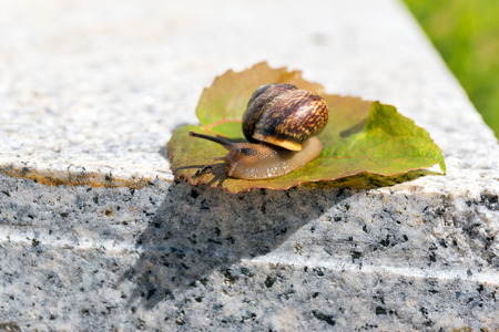hormiga hoja: Crawling snail meeting with ant on green leaf on warm stone Foto de archivo