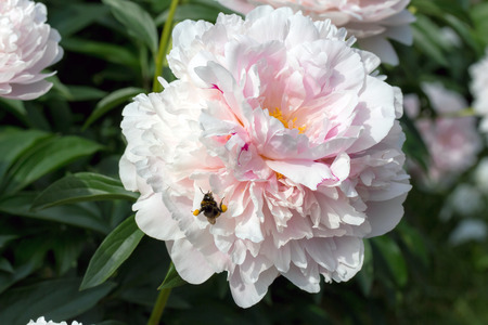 pollinators: A closeup view of a sunny peony flower with bumblebee in Moscow University botanical garden in summer
