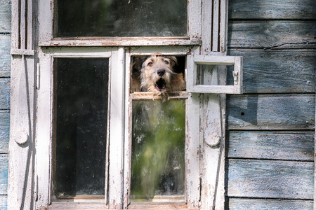 nouse: Barkling dog in a window of a wooden house in Suzdal city of Russia