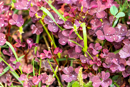 red grass: Rainy red grass in summer with small shiny water droplets Stock Photo