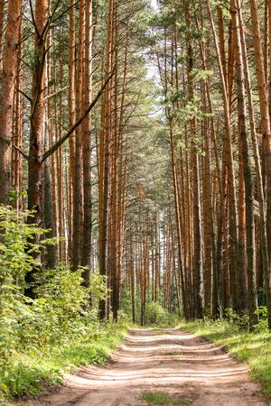 evergreen forest: Evergreen forest road in the summer sun