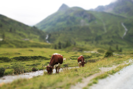 Close soften edge view of Alpine cows in green grass near mountains