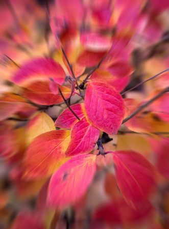 A close up picture of colorful blurred red autumn leaves