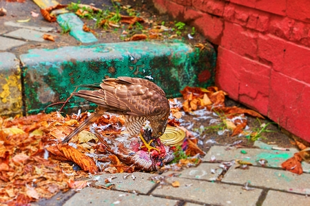 Hungry hawk eating dead crow on Moscow street