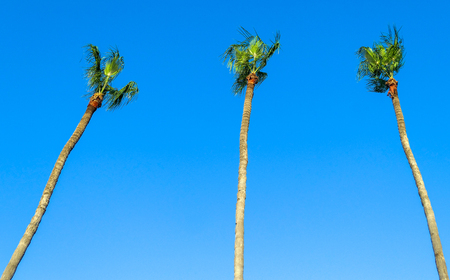 Long palm trees in Cyprus Larnaca on the blue tropical sky background 版權商用圖片