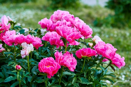 Pink red sunny peony flowers in botanical garden in spring in Moscow