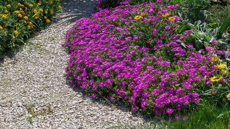 Delosperma cooperi pink sunny flowers in summer Sochi Standard-Bild