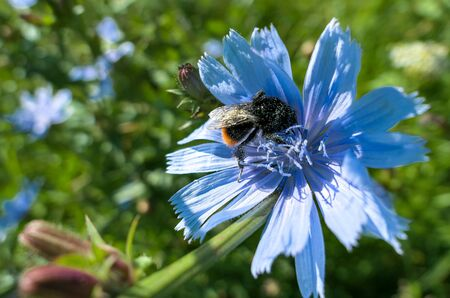 Fat fluffy bumble bee on blue vibrant summer cornflower in Moscow