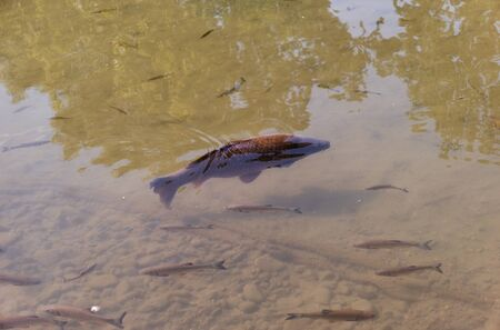 Cultivated catfish floating in warm summer pond under sunlight