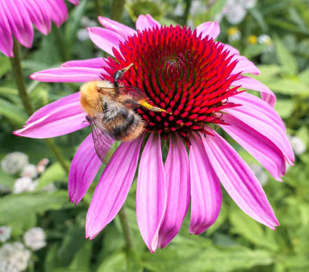 Fat bumble bee on pink flower in summer botanical garden