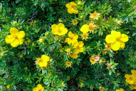 Natural background of small yellow buttercup flowers and green leaves