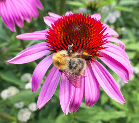 Fat bumble bee on pink flower in summer botanical garden 스톡 콘텐츠