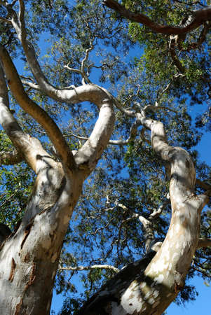 australia landscape: Low angle view of eucalyptus tree branches with blue sky background, Australia