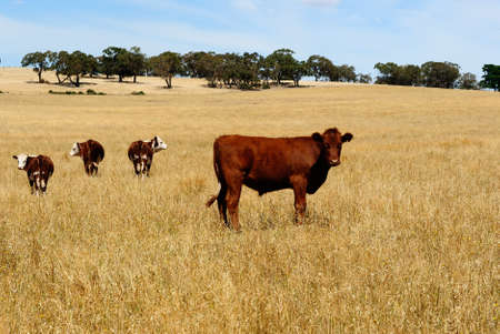 Australian agriculture, cows standing in dry outback grass