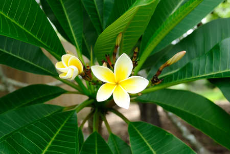 Tropical frangipani or plumeria flower against a green background photo