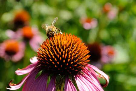 calceolaria: Honey bee su un fiore viola coneflower Archivio Fotografico