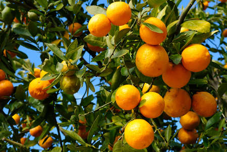 grove: Tangerine plant full with tangerine fruits on a sunny day