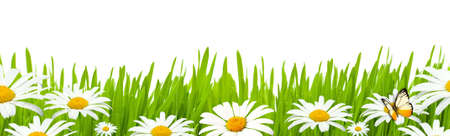 Summer banner with fresh green grass and daisies Stock Photo