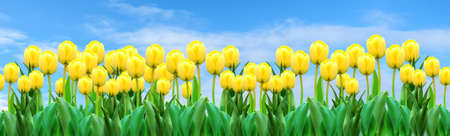 Summer banner with yellow tulips over blue sky