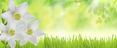 bright decoration color: Spring banner with white daffodils over green background Stock Photo