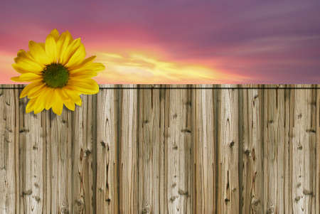 Bright yellow sunflower in bloom with wooden fence photo