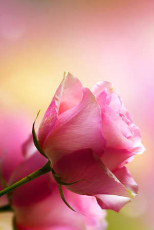 Pink roses in close up, romantic background