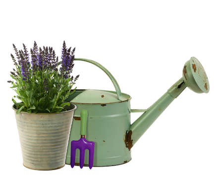 Fresh lavender in an aluminum bucket with rustic watering can photo