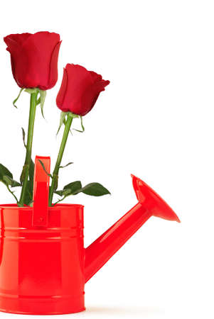 farming tools: Two red roses in a red watering can on white background