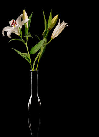 lilia: Pink  lily flowers isolated on black background
