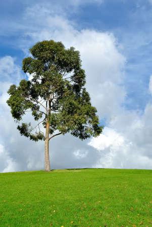 arbre d'eucalyptus et de pâturages dans la belle lumière d'après-midi, Victoria, Australie