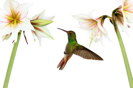 nectar: Hummingbird (archilochus colubris) in flight with tropical flowers on white background Stock Photo