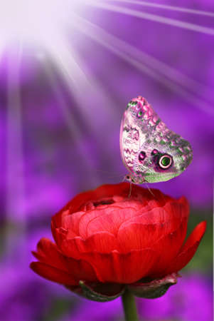 Beautiful purple butterfly resting on a red flower photo