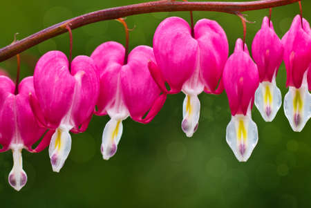 Row of bleeding heart blossoms hanging on curved stem  photo