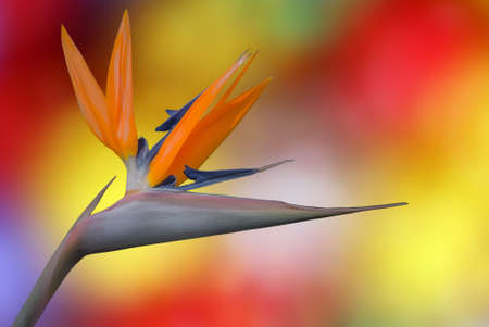 bird of paradise plant: Bird of Paradise tropical flower on colourful background Stock Photo