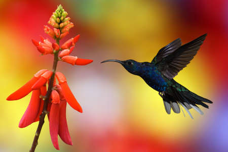 artistic flower: Hummingbird  archilochus colubris  in flight with tropical flowers on colourful background Stock Photo